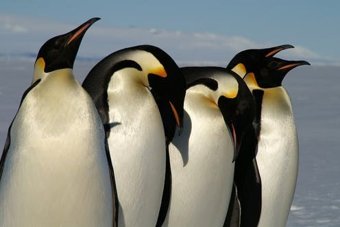 five shiny emperor penguins standing in a line
