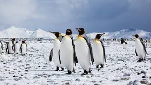 group of emperor penguins standing among the snow