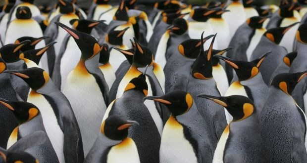 a group of many adult emperor penguins