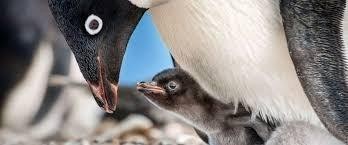 an adult penguin feeding a chick between it's feet