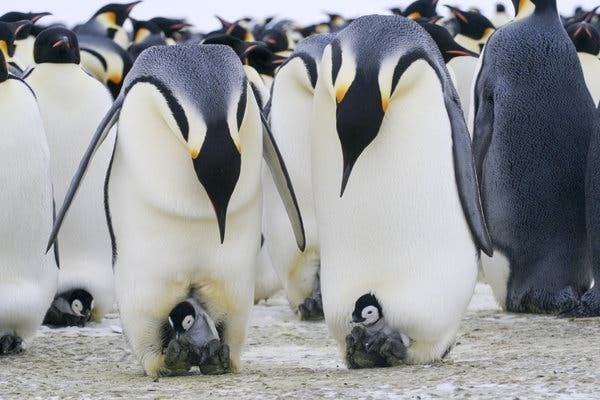 two adult penguins looking at the baby penguins that sit on their feet