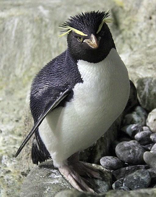 rockhopper penguin standing on rocks