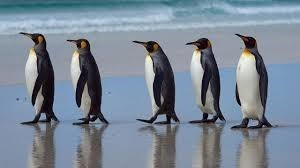 group of penguins walking in a line on the beach