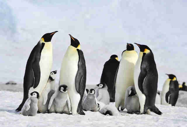 group of adult and baby penguins