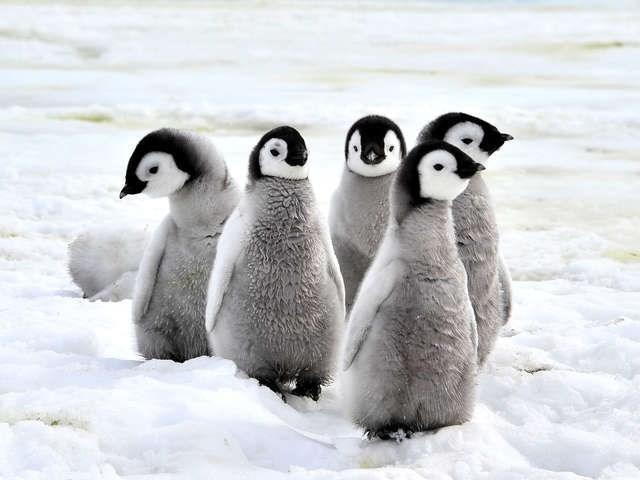 group of grey penguin chicks