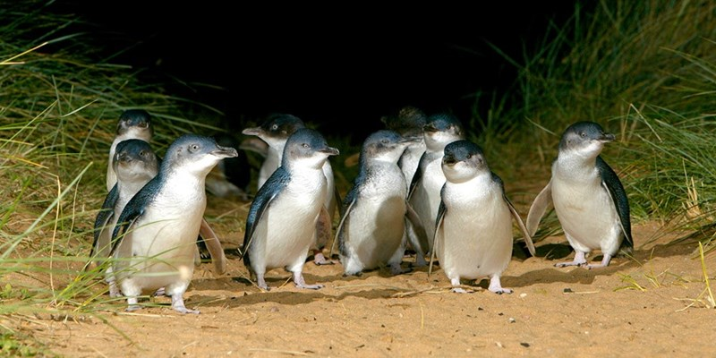 a group of Fairy penguins standing on sand among beach grass