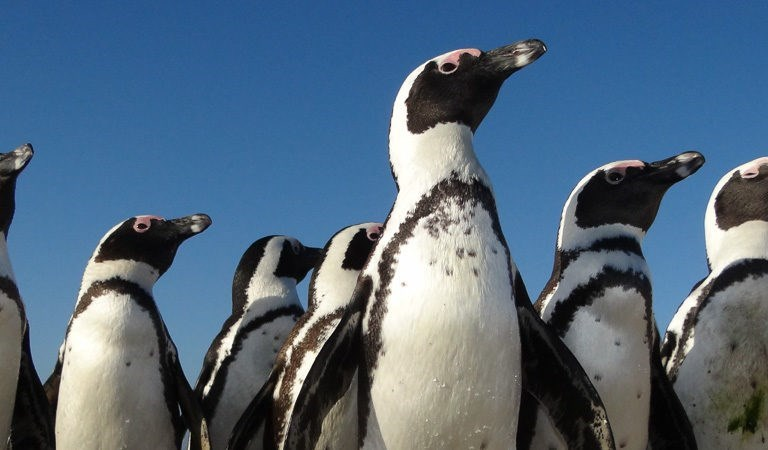 group of black and white penguins from below