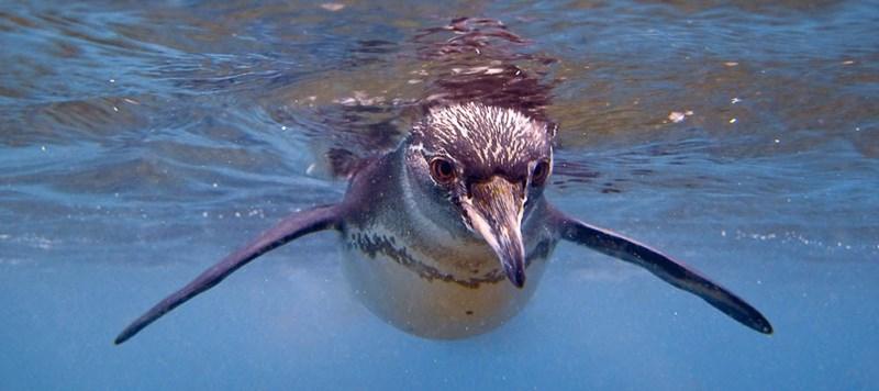 a penguin diving underwater