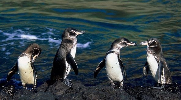 four penguins standing on a rock next to the water