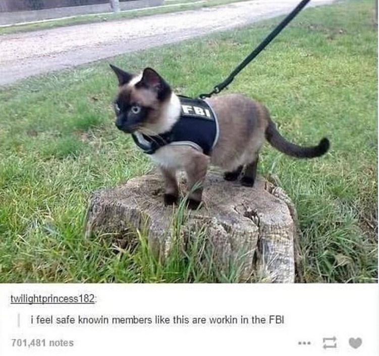 cat meme - Mammal - FBI twilightprincess182 i feel safe knowin members like this are workin in the FBI 701,481 notes