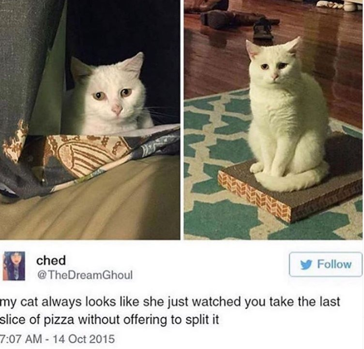 cat meme - Cat - ched Follow @TheDreamGhoul my cat always looks like she just watched you take the last slice of pizza without offering to split it 7:07 AM 14 Oct 2015