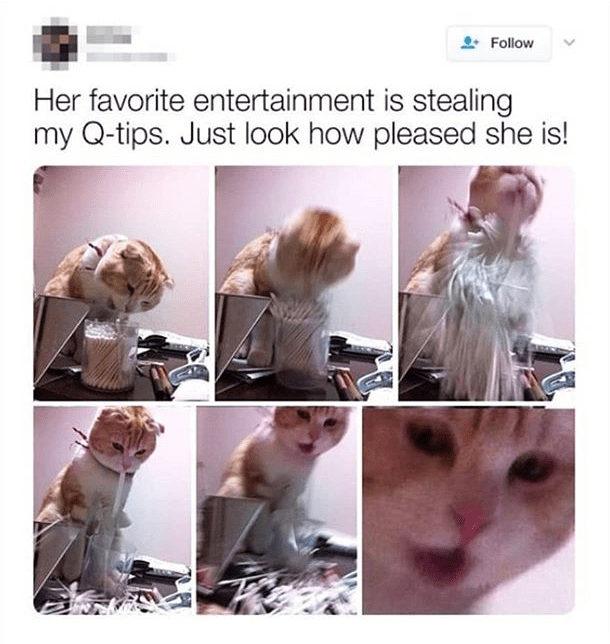 cat meme - Canidae - Follow Her favorite entertainment is stealing my Q-tips. Just look how pleased she is!