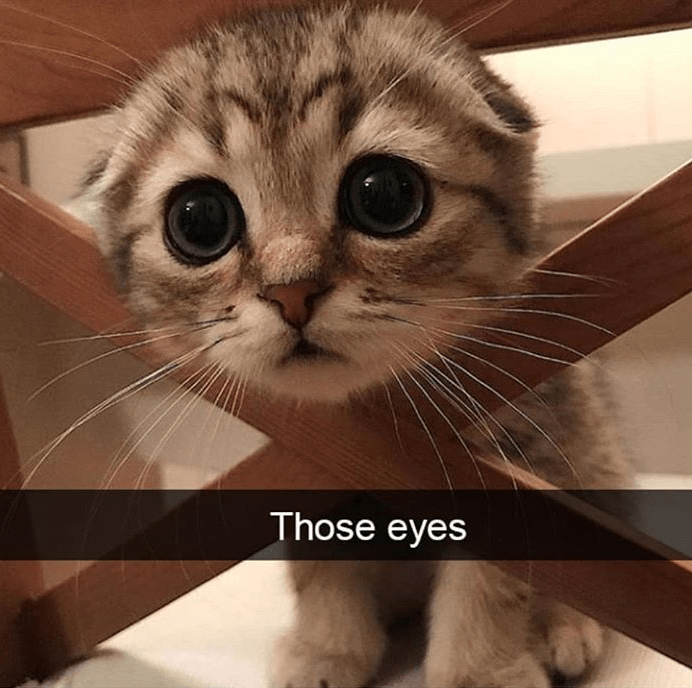 cat meme - Cat - Those eyes