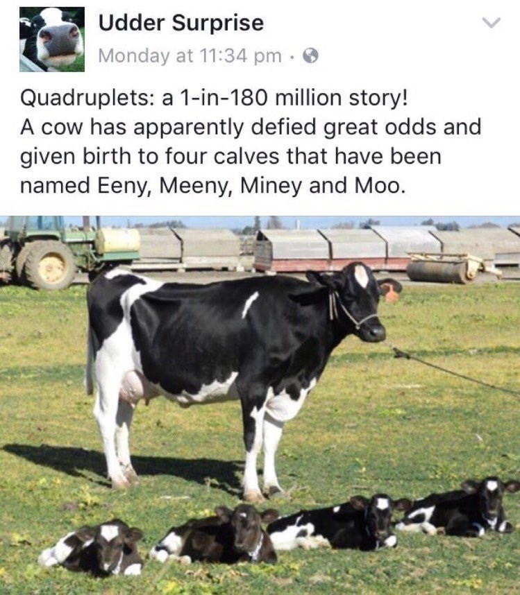 blessed image - Mammal - Udder Surprise Monday at 11:34 pm. Quadruplets: a 1-in-180 million story! A cow has apparently defied great odds and given birth to four calves that have been named Eeny, Meeny, Miney and Moo.