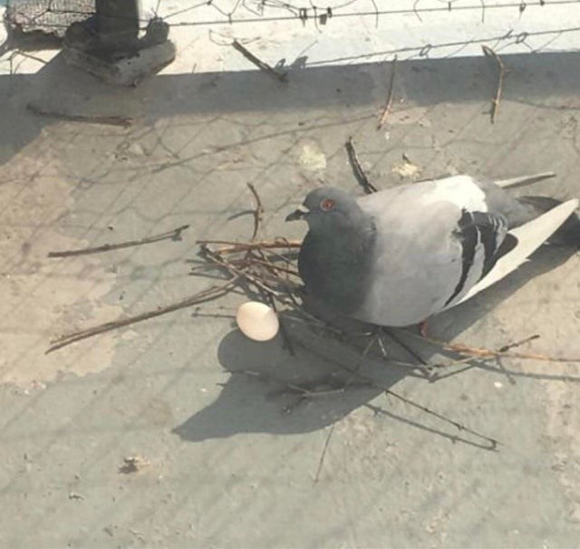 meme - Rock dove