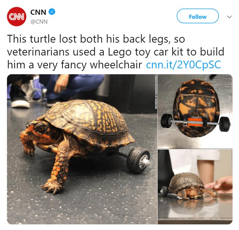 Tortoise - CAW CNN @CNN Follow This turtle lost both his back legs, so veterinarians used a Lego toy car kit to build him a very fancy wheelchair cnn.it/2YOCpSC