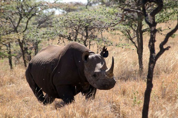 Rhinoceros running free in the wild with trees and dry gras