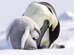 an adult and a baby penguin both bending over to the right