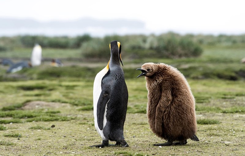 an adult penguin and a brown fluffy penguin chick standing on grass