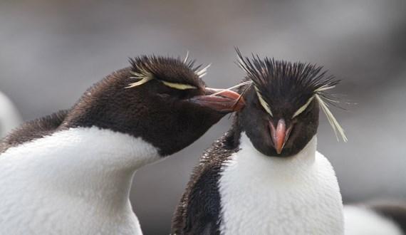 two rockhopper penguins standing together