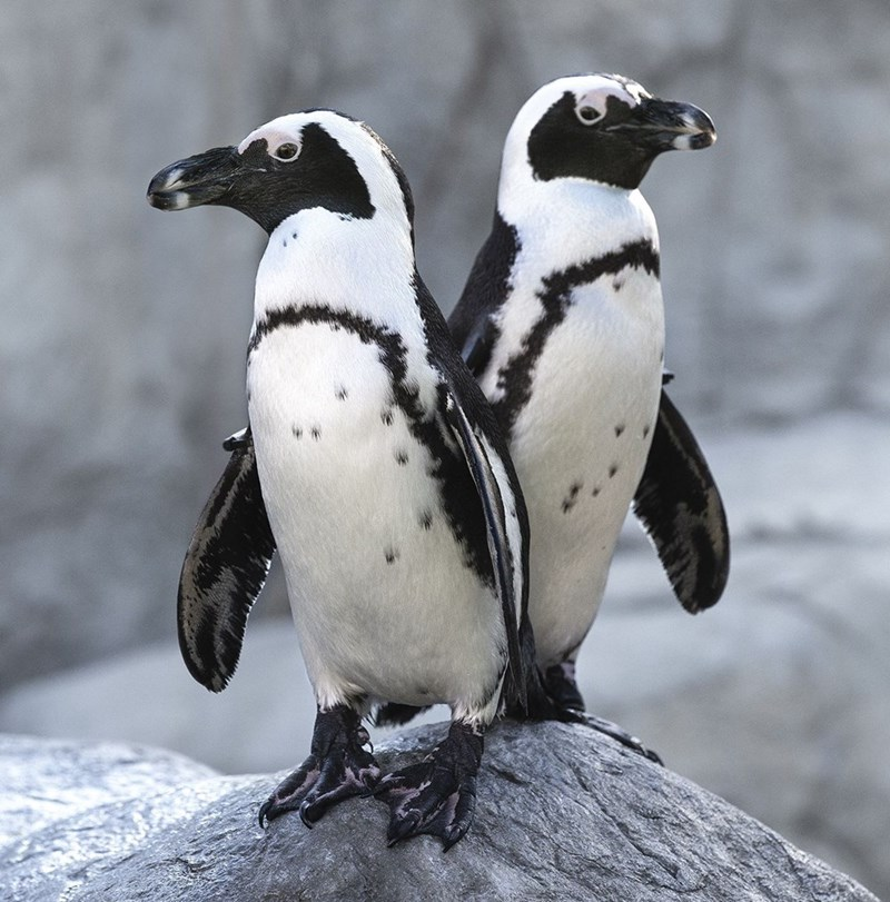 two white and black penguins standing on a rock