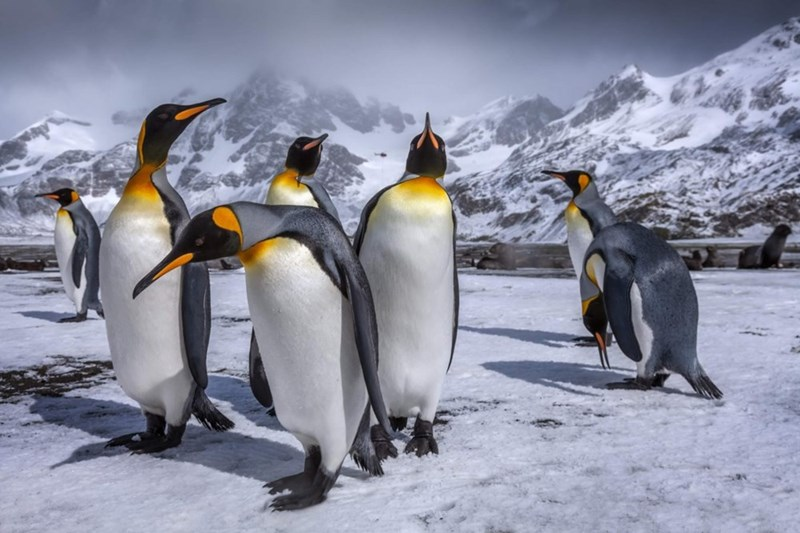 a group of adult penguins standing with a mountain in the background