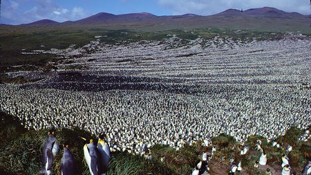 a colony of thousands of penguins