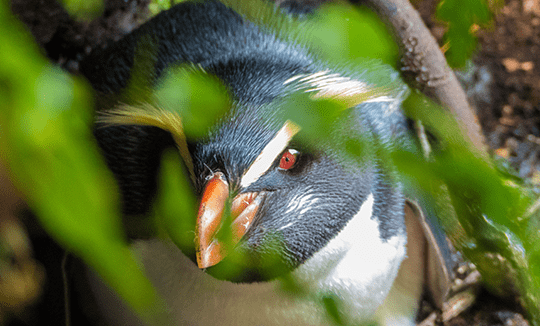 a snares penguin through the leaves of a tree