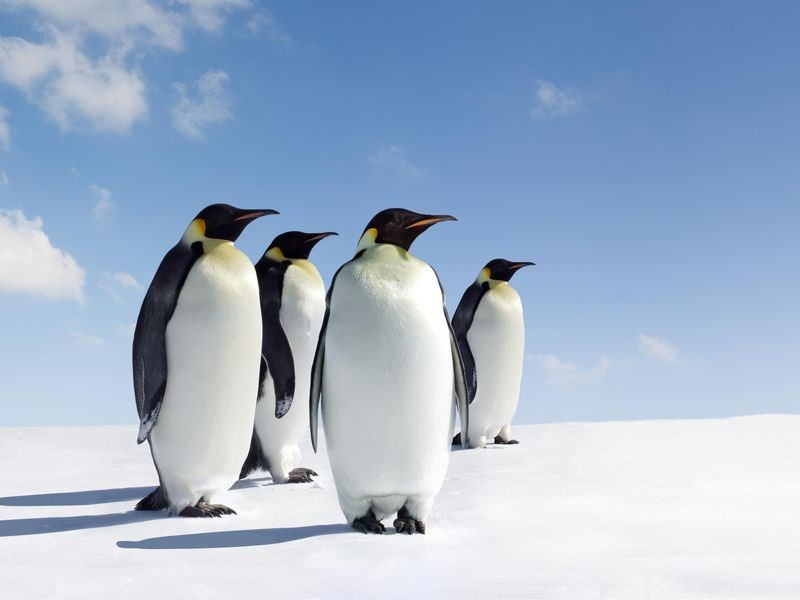 four emperor penguins standing on the snow looking in the same direction