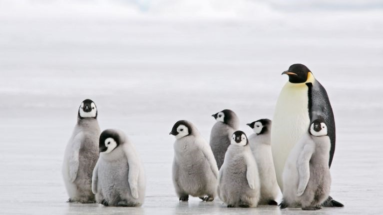 seven grey penguin chicks with an adult penguin
