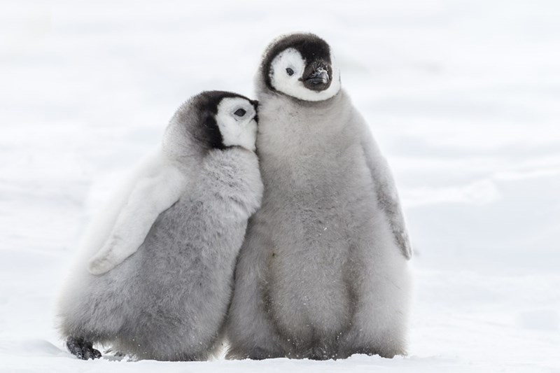 two grey fluffy penguin chicks cuddling next to each other