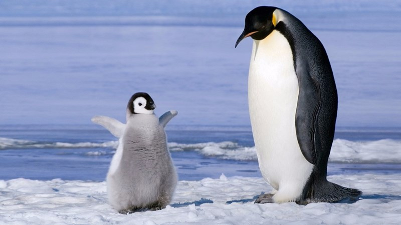 a baby penguin raising its wings with an adult penguin looking at it