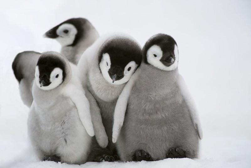 five baby penguin chicks huddled together