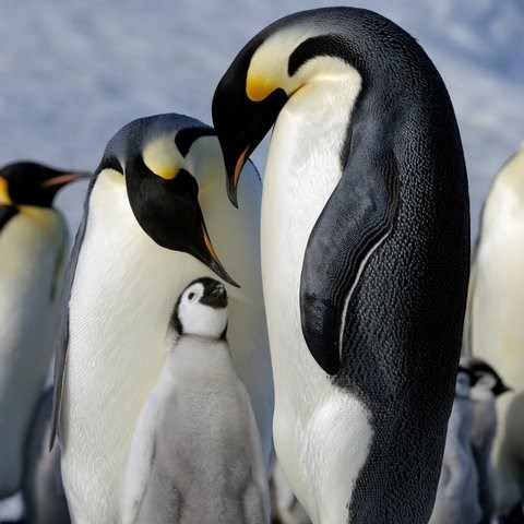 two gay adult penguins and a grey penguin chick