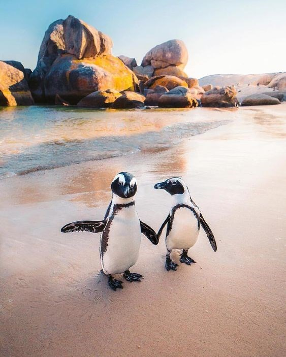 two penguins standing on the beach with the sunset behind them
