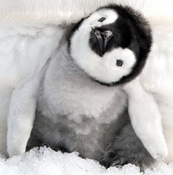 fluffy baby penguin turning it's head on the side as it sits under it's parent