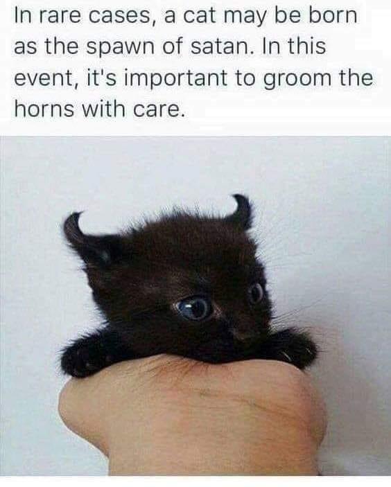 cute black kitten that has devil ears