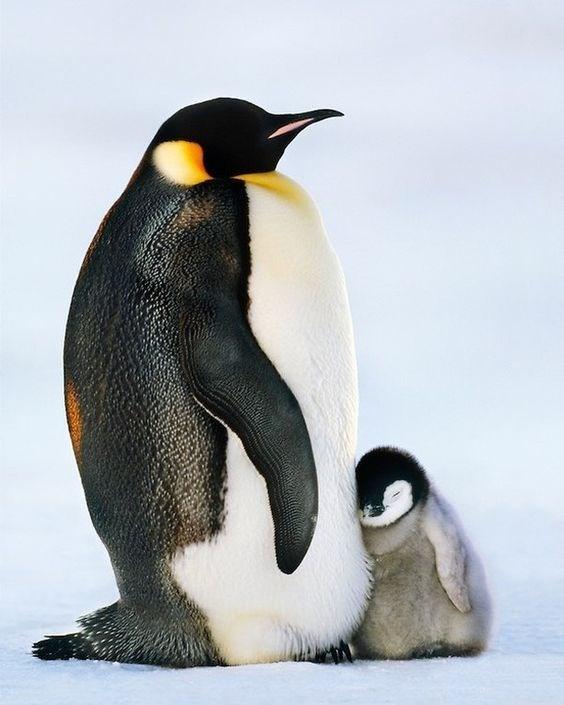 baby penguin huddled sleeping next to a large adult penguin