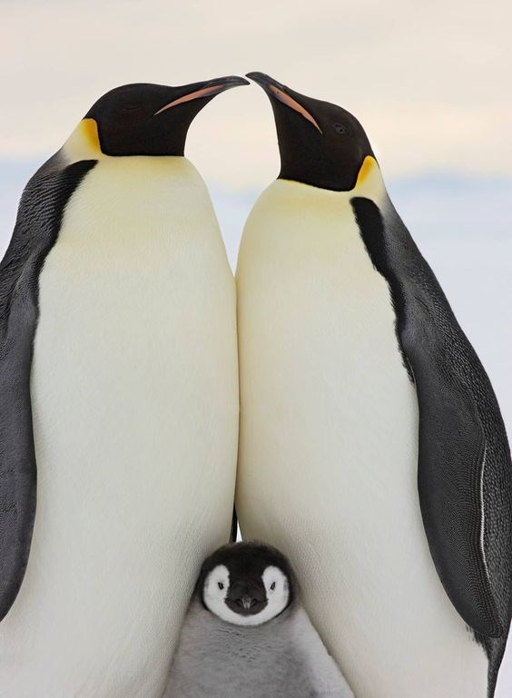 two emperor penguins standing together with a chick between them