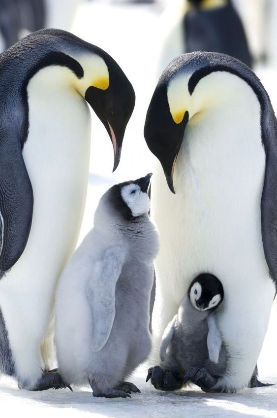 two adult emperor penguins and two grey penguin chicks
