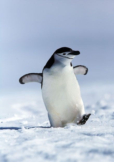 chinstrap penguin lifting its wings and leg like it is dancing