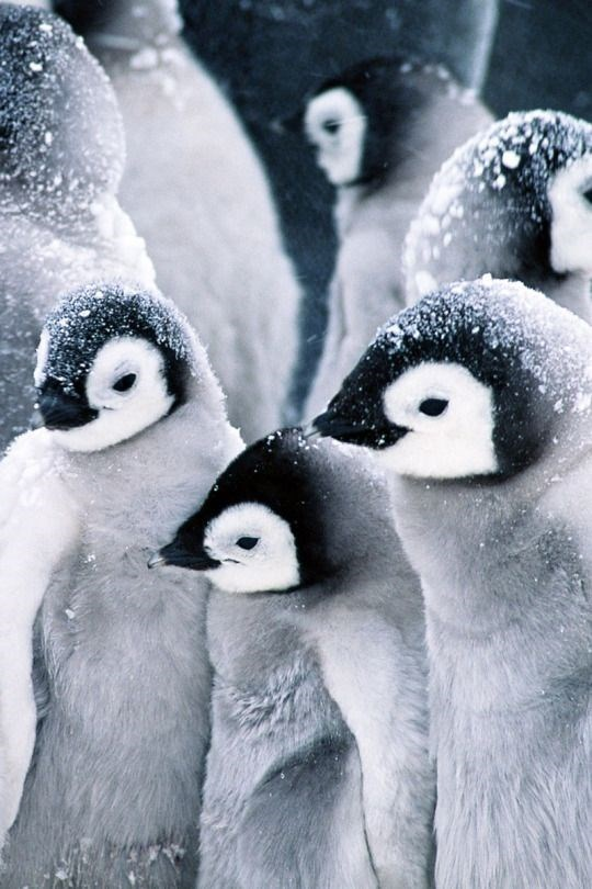 grey penguin chicks with black and white faces and snow on their heads standing together