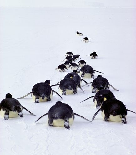 group of penguins sliding down a snowy hill on their stomachs