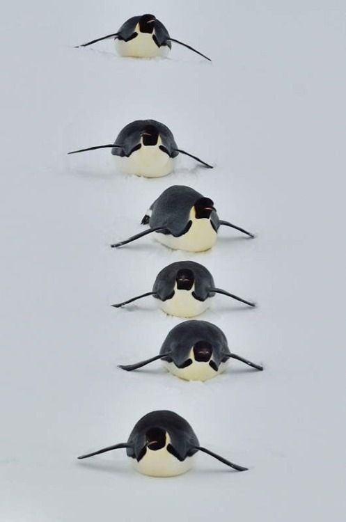 a line of penguins sliding on their stomachs towards the camera in a line