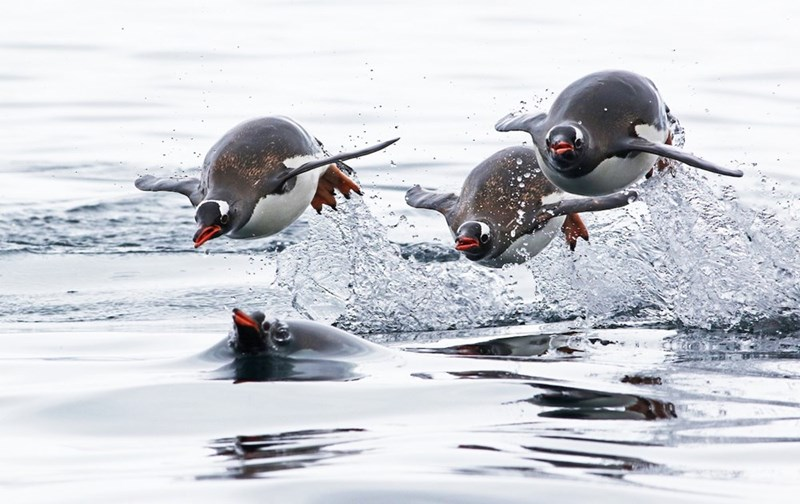 gentoo penguins flying out of the water as they swim