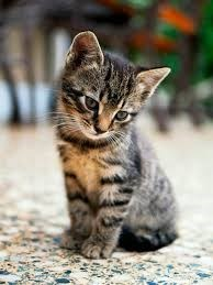 a tabby kitten sitting and looking down
