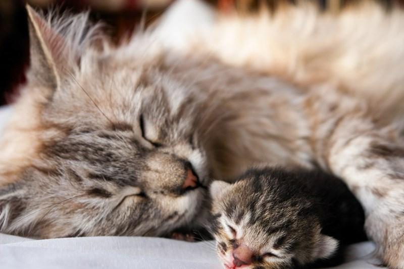 sleeping mum cat hugging her kitten