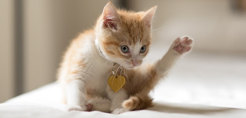 ginger kitten pointing it's leg up in the air