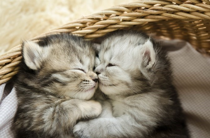 two grey fluffy kittens hugging each other in a basket