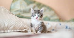 grey and white kitten sitting on a bed